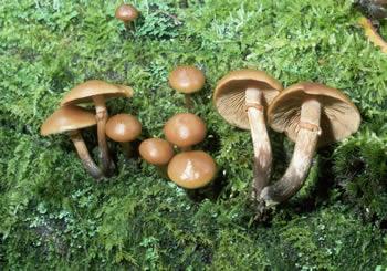 Mushroomers - Prosexmagnum / Pornosapiens