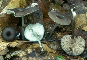 www.messiah.edu/Oakes/fungi_on_wood/gilled%20fungi/images/Leptonia%20serrulata%20JP.jpg